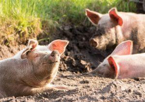 Pig Lockdown