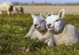 Lamb Lockdown
